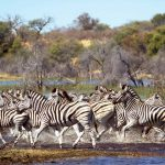 Zebras in the Makgalagadi, where they come to drink at the Boteti River.