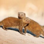Dwarf mongooses in the Khwai River area.