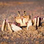 A ghost crab in the iSimangaliso Wetland Park