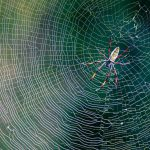 A golden orb spider in the iSimangaliso Wetland Park