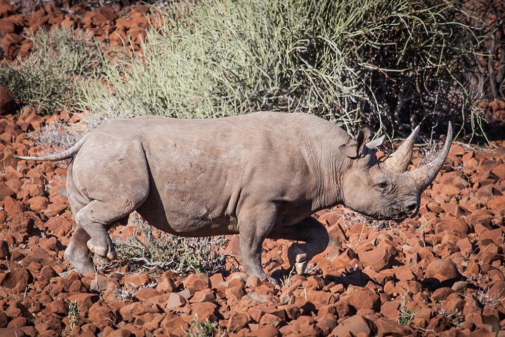 Rhinos10
