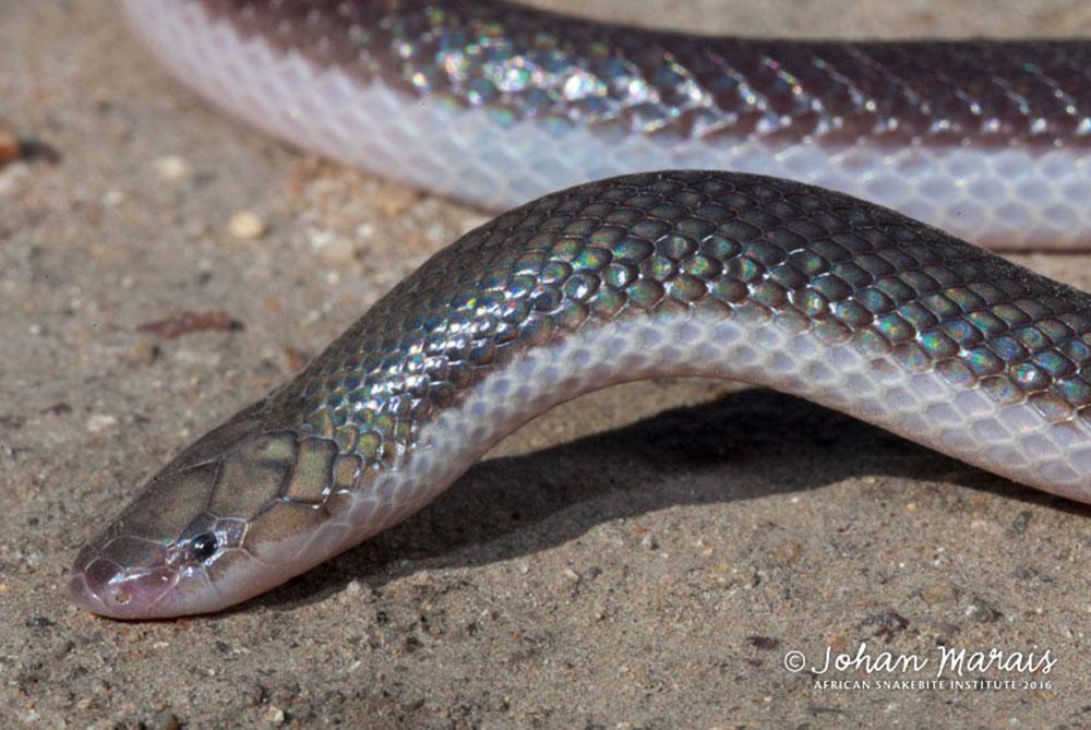 stiletto-snake3