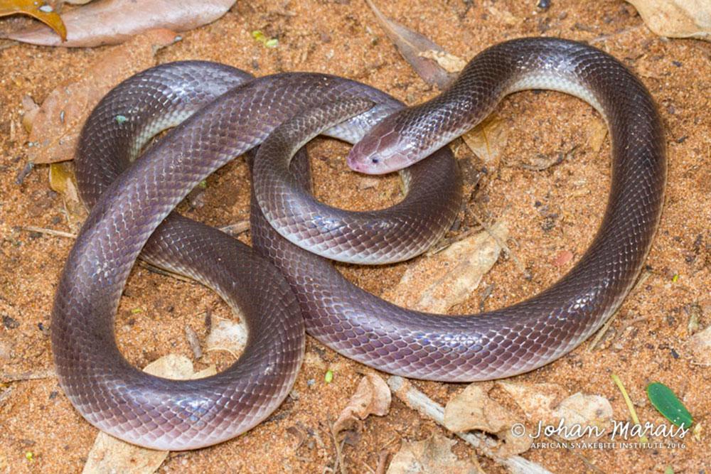 stiletto-snake5