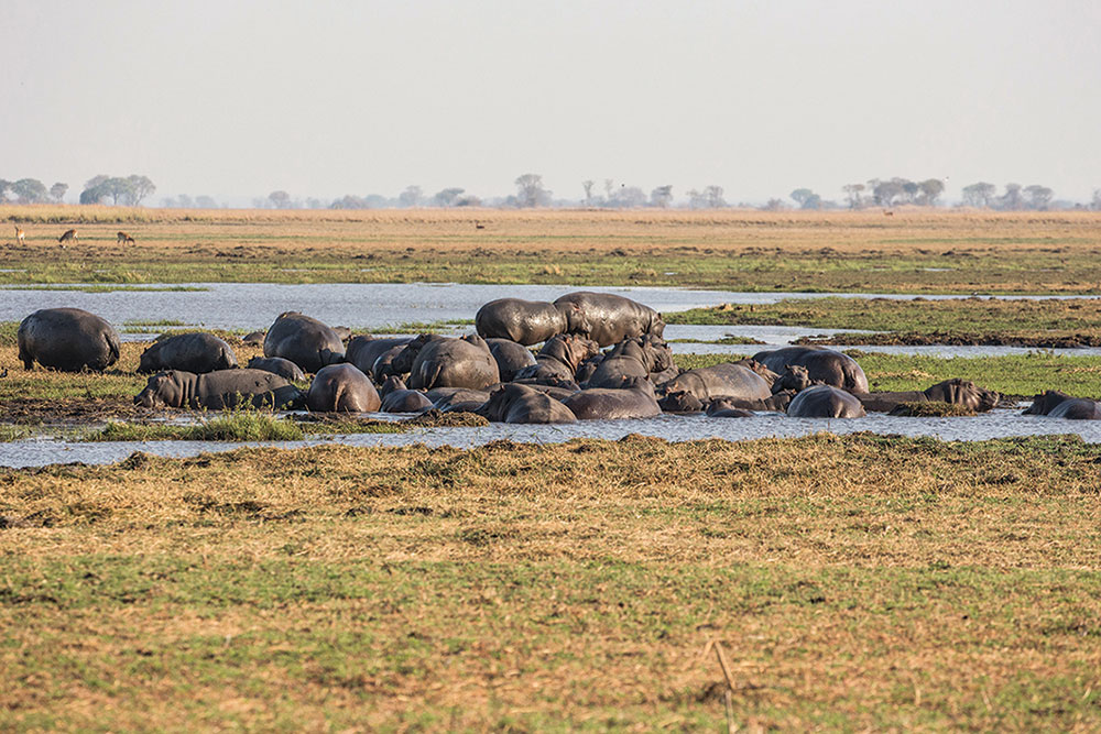 Hippo constantly gather in the pools that remain on the Kafue floodplains during winter.