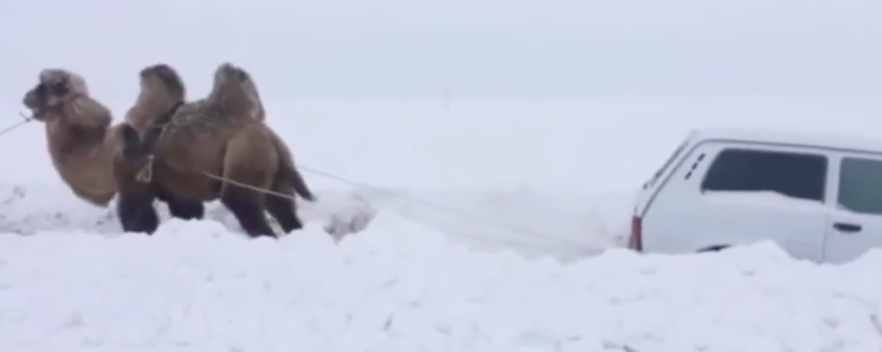 Camel recovers a Lada Niva from deep snow [w/video]